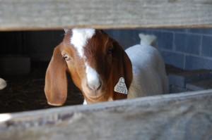 Cover photo for 2018 Livestock Show